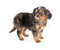 Little merle colored puppy standing white background Royalty Free Stock Photos