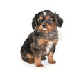Little merle puppy sitting white background Stock Photo