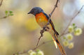 Little minivet perched on a branch Stock Photography