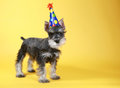 Little minuature schnauzer puppy dog cute Royalty Free Stock Image