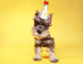 Little minuature schnauzer puppy dog cute Stock Images