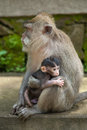 A little monkey baby and his mother Royalty Free Stock Photo