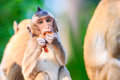 Little monkey crab eating macaque eating fruit in thailand Stock Photography