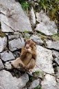Little monkey is eating apples the an apple stood on the cliff wary of looking around location china hailuogou scenic area in Royalty Free Stock Image