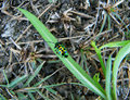 Little multi-color with black dots beetle resting on vibrant green grass Royalty Free Stock Photo