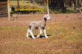 Little newborn lamb full body of a cute running in a farm camp Stock Photo