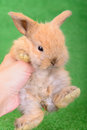 Little newborn rabbit on a green background human veterinarian hand holding an animal Stock Photo
