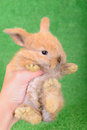 Little newborn rabbit on a green background human veterinarian hand holding an animal Royalty Free Stock Photos