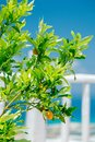 Little orange tree with small fruitage on Crete Royalty Free Stock Photo