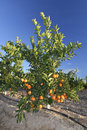 Little orange tree young an plantation in south spain Royalty Free Stock Image