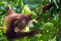 Little Orangutan on the tree. Royalty Free Stock Images