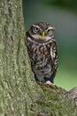 Little Owl Stock Photography