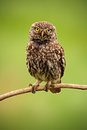 Little Owl, Athene noctua, bird in the nature habitat, clear green background, yellow eyes, Hungary