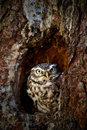 Little Owl, Athene noctua, in the tree nest hole forest in central Europe, portrait of small bird in the nature habitat, Czech Rep Royalty Free Stock Photo