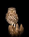 Little owl bird beautiful at night athene noctua taken in england Stock Images