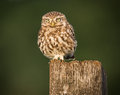 Little owl bird beautiful in stunning evening light athene noctua taken in england Stock Photos