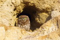 Little owl on burrow Royalty Free Stock Photo