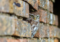 Little owl hiding in an old wall a hole a brick Royalty Free Stock Photography