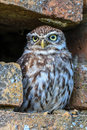 Little owl in a hole in a wall hides small an outside brick Royalty Free Stock Photography