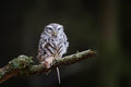 Little owl with hunted down mouse Royalty Free Stock Photo