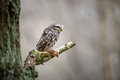 Little owl with hunted mouse Royalty Free Stock Photo