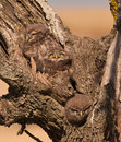 Little Owlets: three brothers Royalty Free Stock Photo
