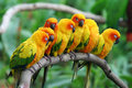 Little Parrots. Royalty Free Stock Photo