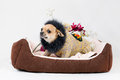 Little pedigreed dog Royalty Free Stock Photo