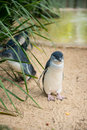 Little penguins in australia the smallest the world Stock Photography