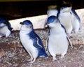 Little penguins on Phillip Island Royalty Free Stock Photo