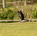 Little pied cormorant in Kangaroo Valley Australia Royalty Free Stock Photo