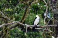 Little pied cormorant microcarbo melanoleucos sit on high tree branch Royalty Free Stock Photo