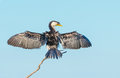 Little Pied Cormorant Royalty Free Stock Photo