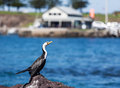 Little Pied Cormorant sunbathing Royalty Free Stock Photo