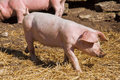 Little pig Royalty Free Stock Images