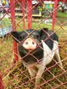 A little pig in cage the is waiting just choose food from people Royalty Free Stock Images