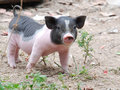 Little pig cute raise its guard Royalty Free Stock Photography