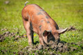 Little pig in a mud pigs Royalty Free Stock Photos