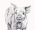 Little piggy Royalty Free Stock Photo