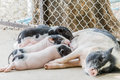 Little piglets suckling their mother Royalty Free Stock Photo