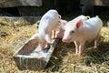Little pigs Stock Photo