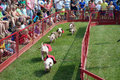 Little pigs racing at a state fair piglets on the home stretch with crowd cheering them on an annual event in minnesota Stock Photo