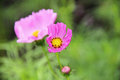 Little pink flower have yellow and black pollens with big pink flower background in garden closeup Royalty Free Stock Photo