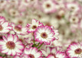 Little pink and white dahlias closeup image Stock Photos