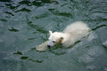 Little polar bear swimming in water Stock Photo