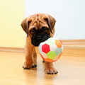 Little puppy bullmastiff Stock Photography