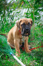 Little puppy bullmastiff Stock Photos