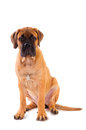 Little puppy bullmastiff Stock Images