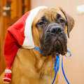 Little puppy bullmastiff Royalty Free Stock Photos