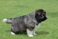 Little puppy of caucasian shepherd in a canine center in spain Royalty Free Stock Image